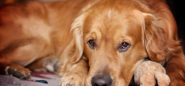 Ложная щенность у собак (ложная беременность)