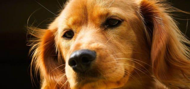 Горячий и сухой нос у собаки признак повышенной температуры?