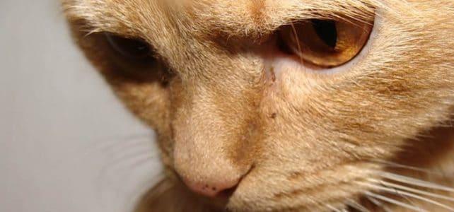 Вирусная лейкемия или лейкоз кошек (FeLV)